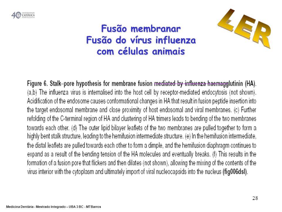 DEPARTAMENTO DE CIÊNCIAS DA SAÚDE Medicina Dentária - Mestrado Integrado – UBA 3 BC - MTBarros 28 Fusão membranar Fusão do vírus influenza com células