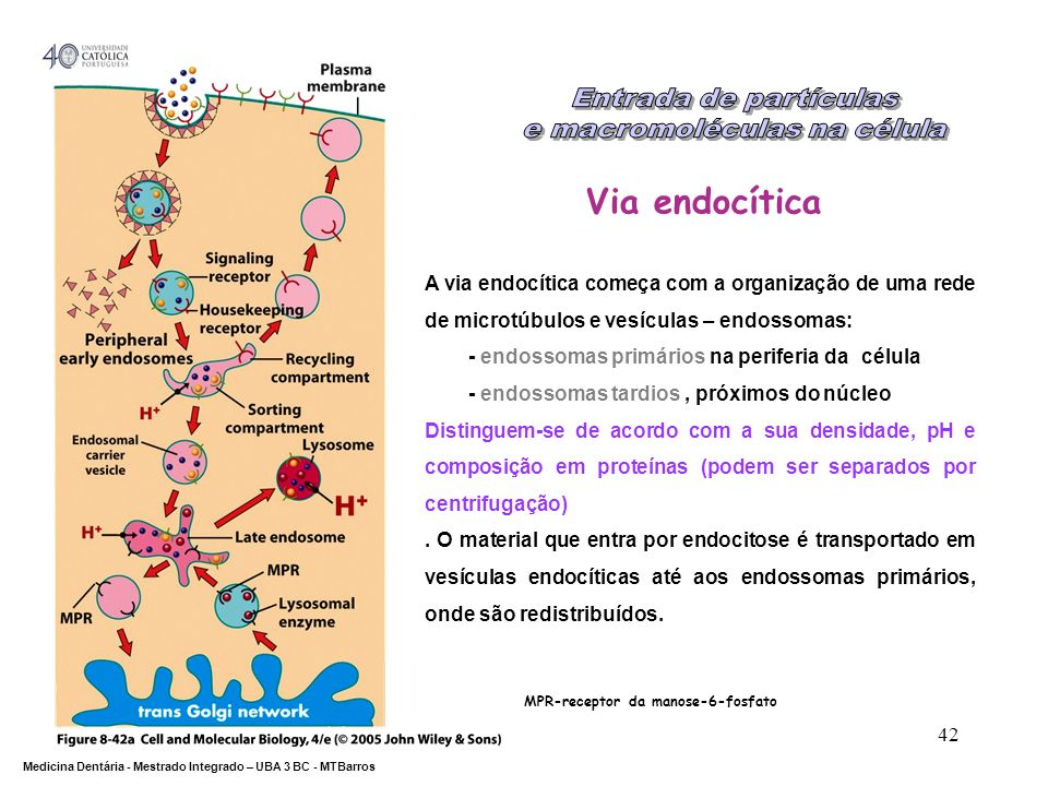 DEPARTAMENTO DE CIÊNCIAS DA SAÚDE Medicina Dentária - Mestrado Integrado – UBA 3 BC - MTBarros 42 Via endocítica MPR-receptor da manose-6-fosfato A vi