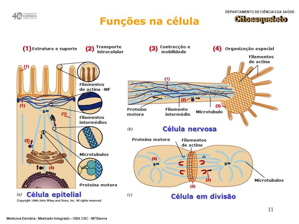 DEPARTAMENTO DE CIÊNCIAS DA SAÚDE Medicina Dentária - Mestrado Integrado – UBA 3 BC - MTBarros 11 Estrutura e suporte Transporte intracelular Contracç