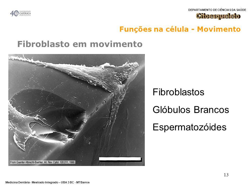 DEPARTAMENTO DE CIÊNCIAS DA SAÚDE Medicina Dentária - Mestrado Integrado – UBA 3 BC - MTBarros 13 Fibroblasto em movimento Funções na célula - Movimen