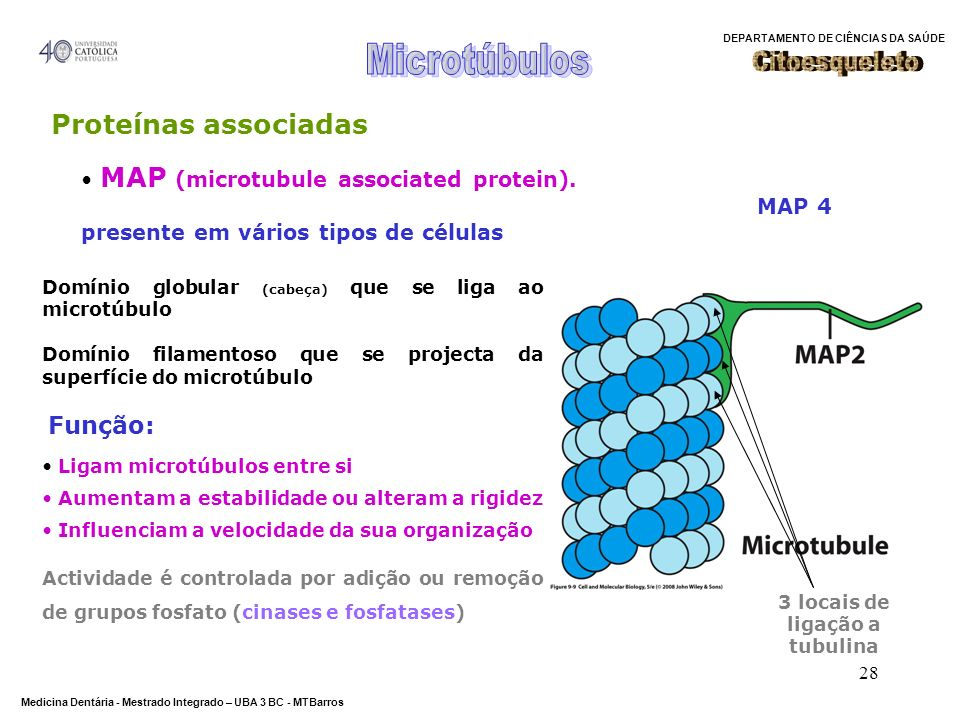 DEPARTAMENTO DE CIÊNCIAS DA SAÚDE Medicina Dentária - Mestrado Integrado – UBA 3 BC - MTBarros 28 Proteínas associadas Domínio globular (cabeça) que s