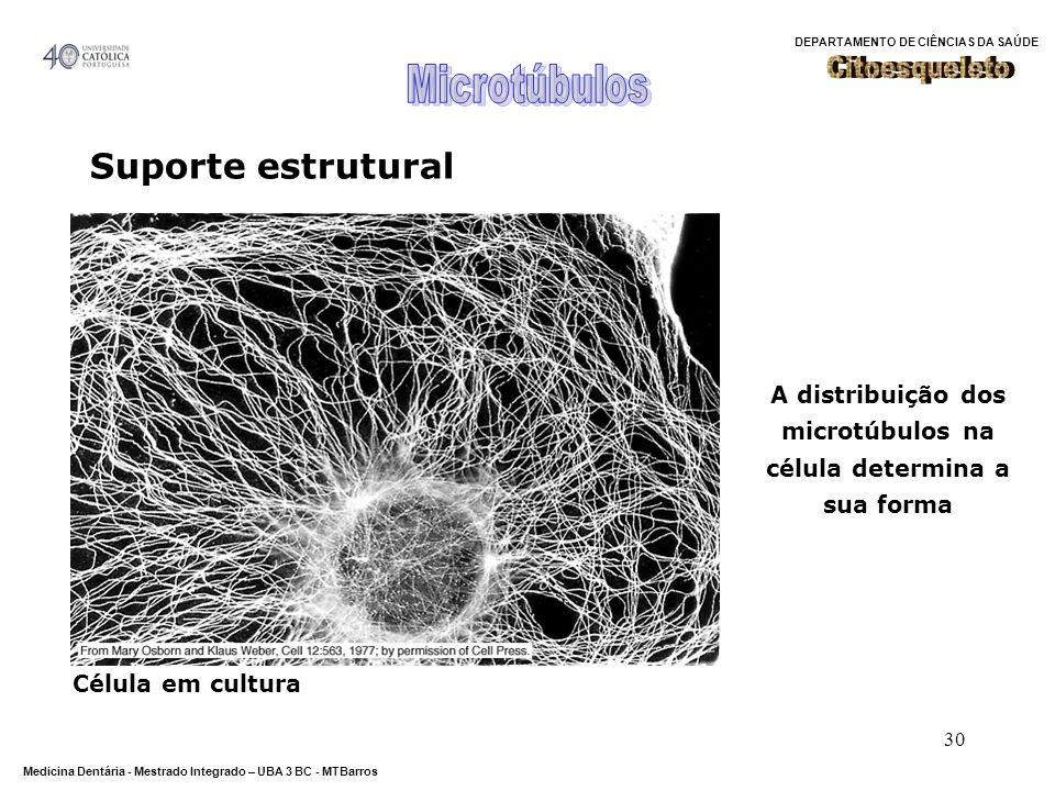 DEPARTAMENTO DE CIÊNCIAS DA SAÚDE Medicina Dentária - Mestrado Integrado – UBA 3 BC - MTBarros 30 Suporte estrutural A distribuição dos microtúbulos n