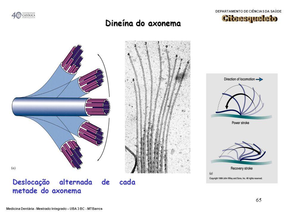 DEPARTAMENTO DE CIÊNCIAS DA SAÚDE Medicina Dentária - Mestrado Integrado – UBA 3 BC - MTBarros 65 Dineína do axonema Deslocação alternada de cada meta