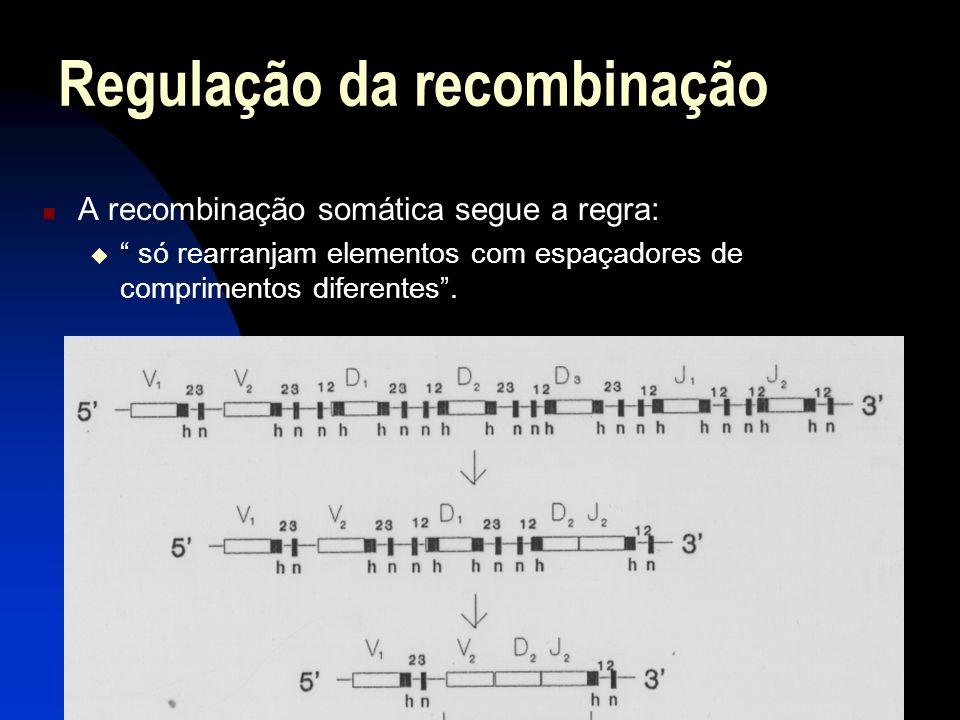 A recombinação somática segue a regra: só rearranjam elementos com espaçadores de comprimentos diferentes. Regulação da recombinação