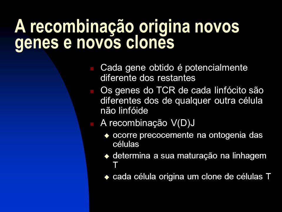 A recombinação origina novos genes e novos clones Cada gene obtido é potencialmente diferente dos restantes Os genes do TCR de cada linfócito são dife