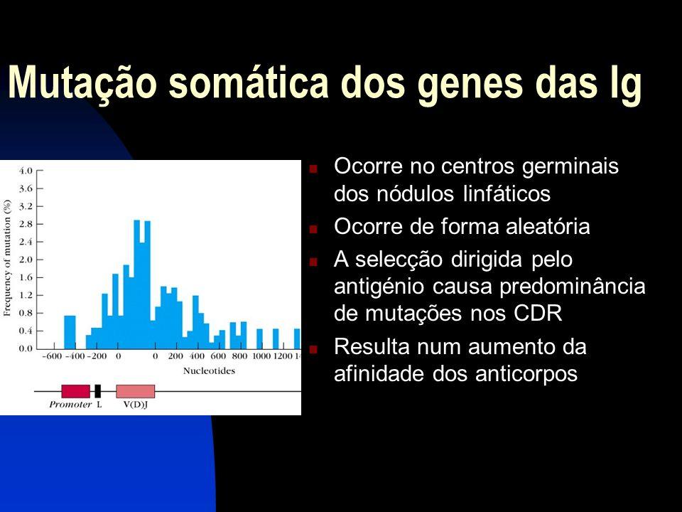 Mutação somática dos genes das Ig Ocorre no centros germinais dos nódulos linfáticos Ocorre de forma aleatória A selecção dirigida pelo antigénio caus
