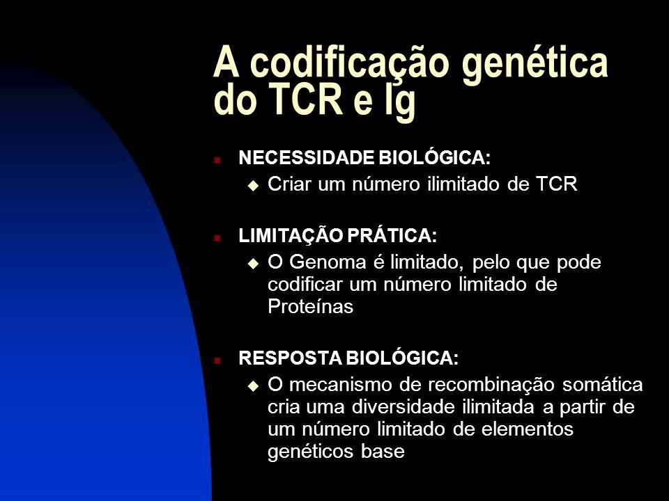 A codificação genética do TCR e Ig NECESSIDADE BIOLÓGICA: Criar um número ilimitado de TCR LIMITAÇÃO PRÁTICA: O Genoma é limitado, pelo que pode codif