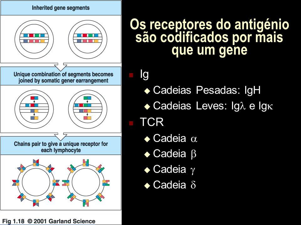 Os genes das Imunoglobulinas Cromossoma 12 Cromossoma 6 Cromossoma 16