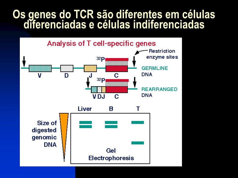 Os genes do TCR são diferentes em células diferenciadas e células indiferenciadas