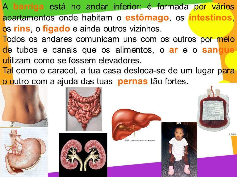 A barriga está no andar inferior: é formada por vários apartamentos onde habitam o estômago, os intestinos, os rins, o fígado e ainda outros vizinhos.