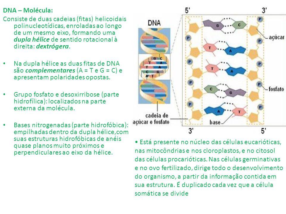 DNA – Molécula: Consiste de duas cadeias (fitas) helicoidais polinucleotídicas, enroladas ao longo de um mesmo eixo, formando uma dupla hélice de sent