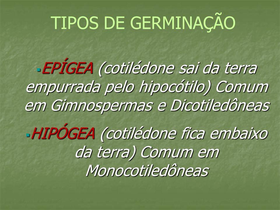 TIPOS DE GERMINAÇÃO EPÍGEA (cotilédone sai da terra empurrada pelo hipocótilo) Comum em Gimnospermas e Dicotiledôneas EPÍGEA (cotilédone sai da terra