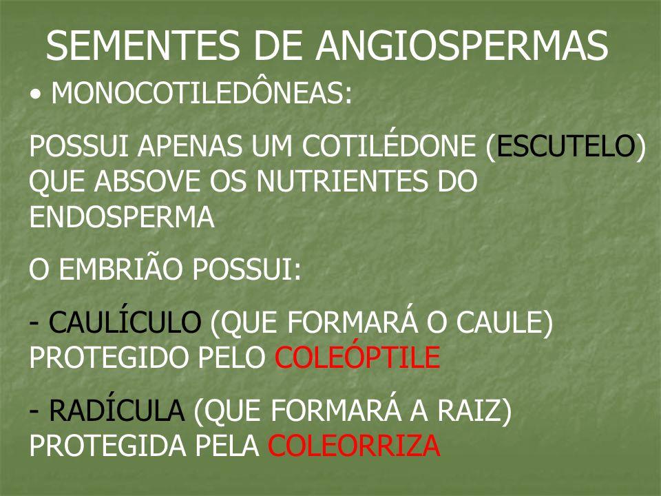 SEMENTES DE ANGIOSPERMAS MONOCOTILEDÔNEAS: POSSUI APENAS UM COTILÉDONE (ESCUTELO) QUE ABSOVE OS NUTRIENTES DO ENDOSPERMA O EMBRIÃO POSSUI: - CAULÍCULO