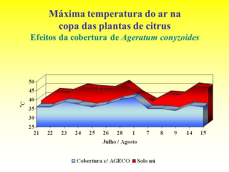 Máxima temperatura do ar na copa das plantas de citrus Efeitos da cobertura de Ageratum conyzoides
