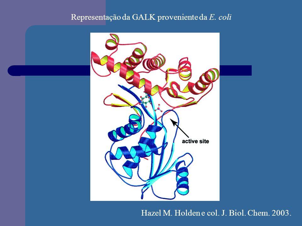 Representação da GALK proveniente da E. coli Hazel M. Holden e col. J. Biol. Chem. 2003.