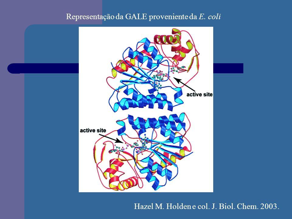 Representação da GALE proveniente da E. coli Hazel M. Holden e col. J. Biol. Chem. 2003.