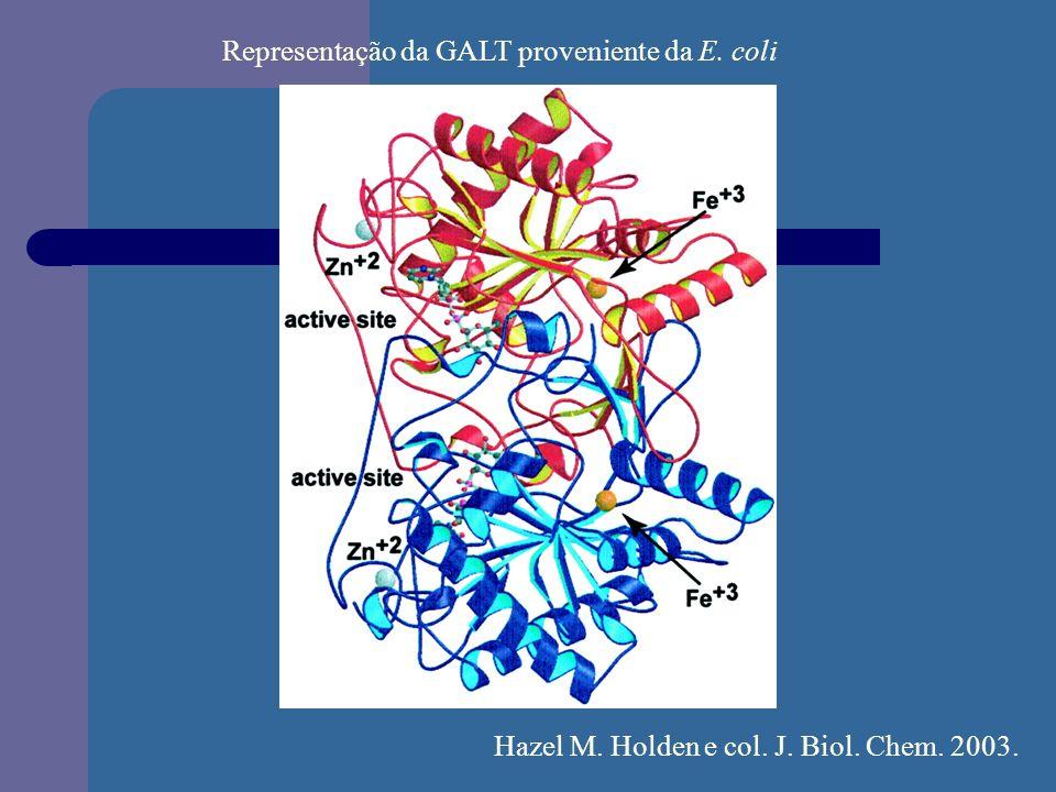Representação da GALT proveniente da E. coli Hazel M. Holden e col. J. Biol. Chem. 2003.