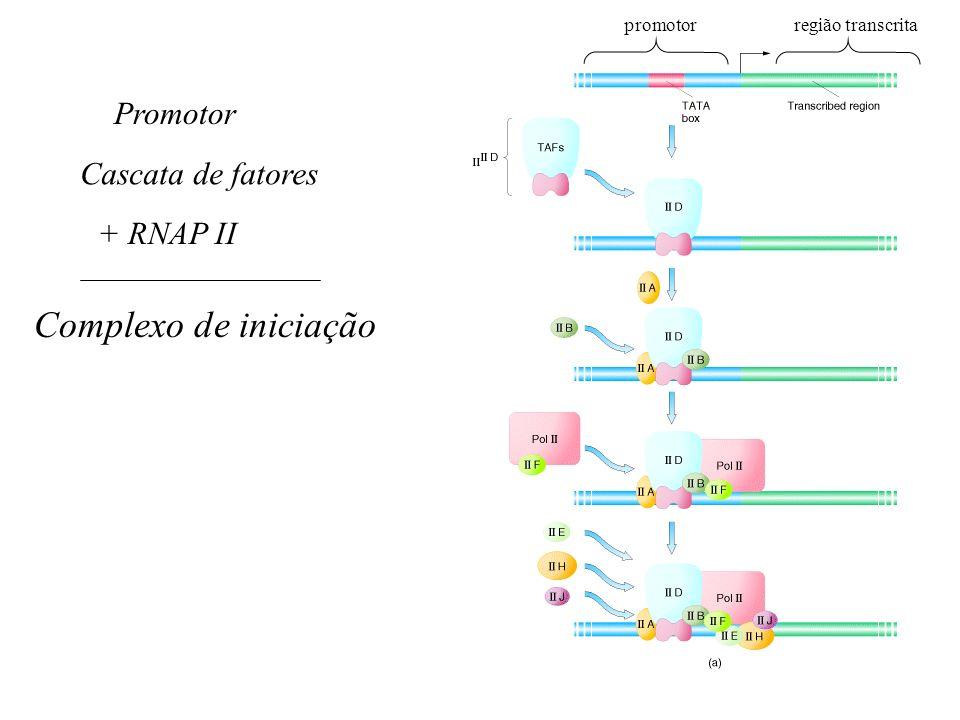 Cascata de fatores + RNAP II Complexo de iniciação Promotor promotorregião transcrita