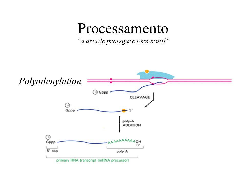 Processamento a arte de proteger e tornar útil Polyadenylation