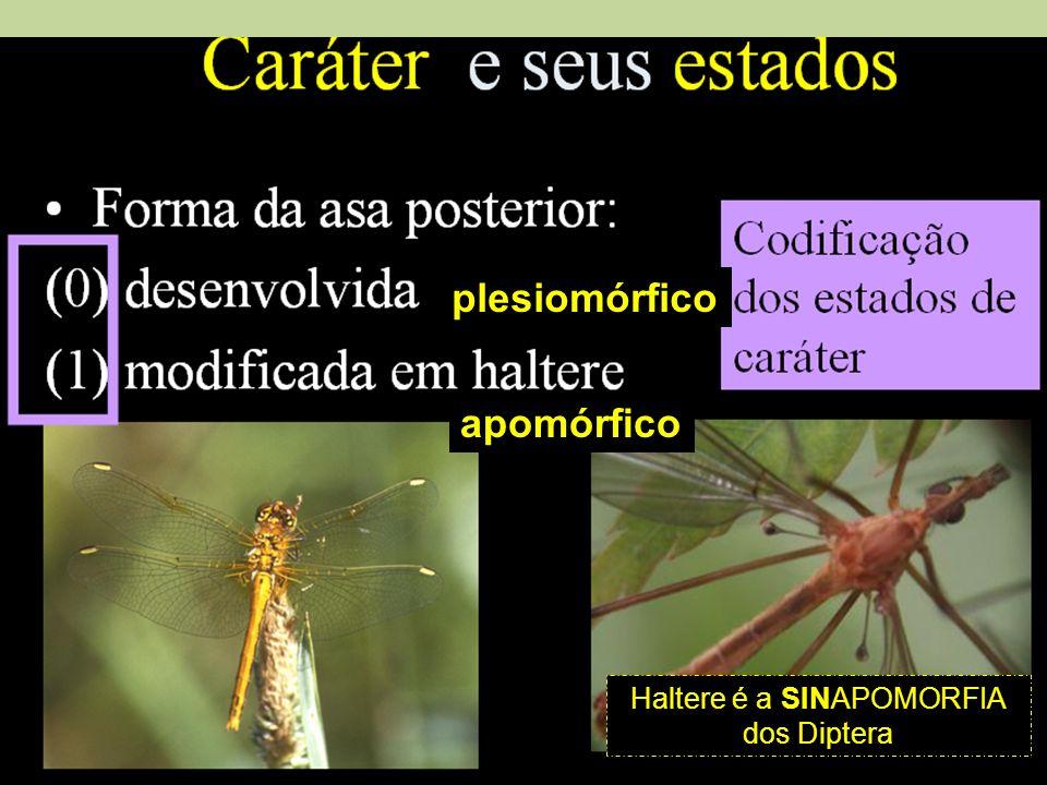 plesiomórfico apomórfico Haltere é a SINAPOMORFIA dos Diptera