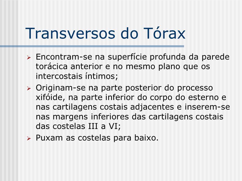 Transversos do Tórax Encontram-se na superfície profunda da parede torácica anterior e no mesmo plano que os intercostais íntimos; Originam-se na part