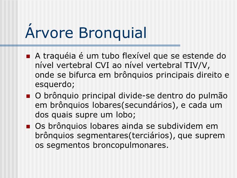 Árvore Bronquial A traquéia é um tubo flexível que se estende do nível vertebral CVI ao nível vertebral TIV/V, onde se bifurca em brônquios principais