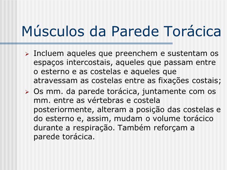 Músculos da Parede Torácica Incluem aqueles que preenchem e sustentam os espaços intercostais, aqueles que passam entre o esterno e as costelas e aque