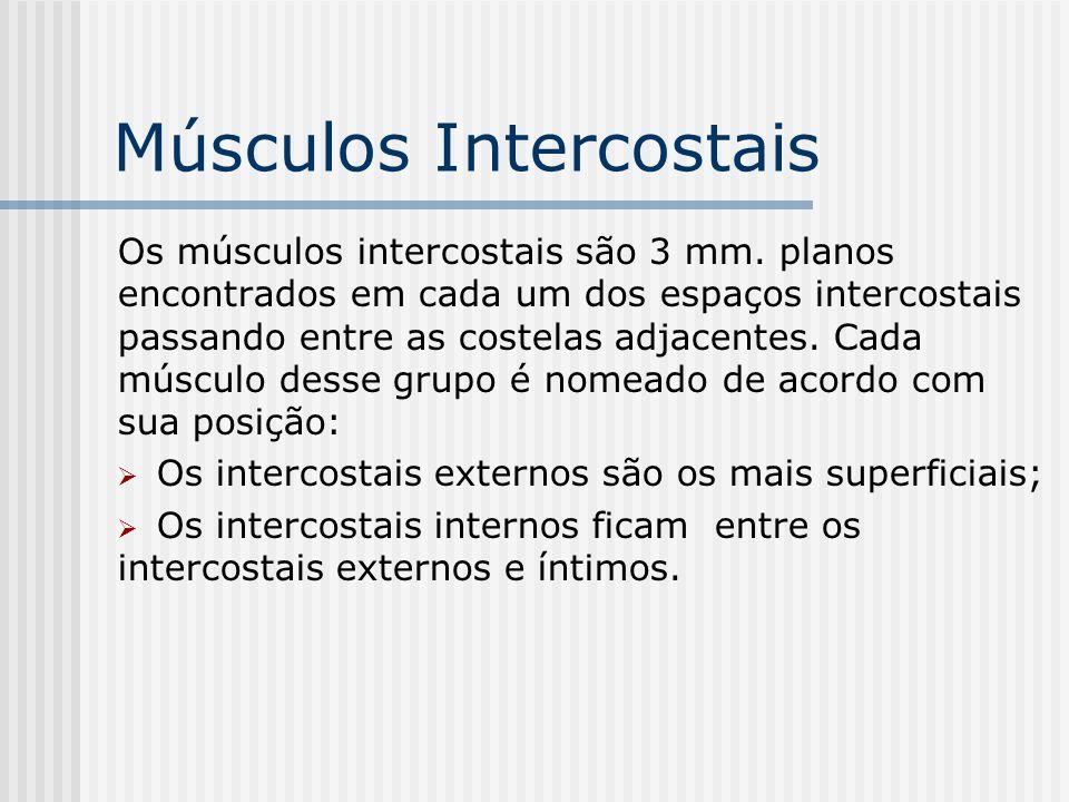 Músculos Intercostais Os músculos intercostais são 3 mm. planos encontrados em cada um dos espaços intercostais passando entre as costelas adjacentes.