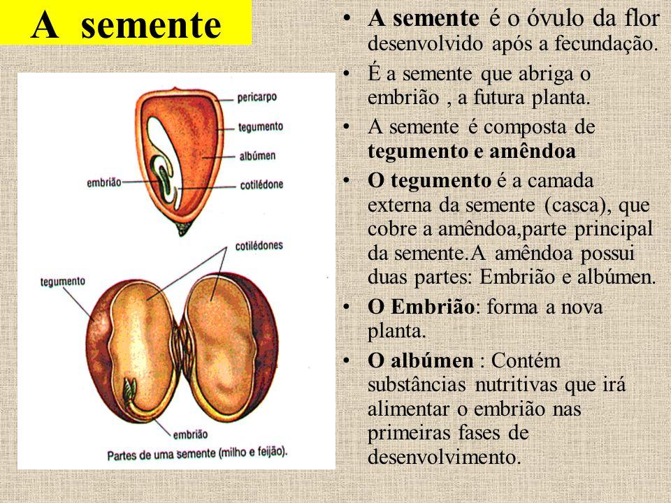 A semente A semente é o óvulo da flor desenvolvido após a fecundação. É a semente que abriga o embrião, a futura planta. A semente é composta de tegum