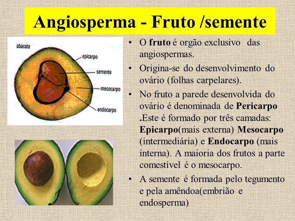 Angiosperma - Fruto /semente O fruto é orgão exclusivo das angiospermas. Origina-se do desenvolvimento do ovário (folhas carpelares). No fruto a pared