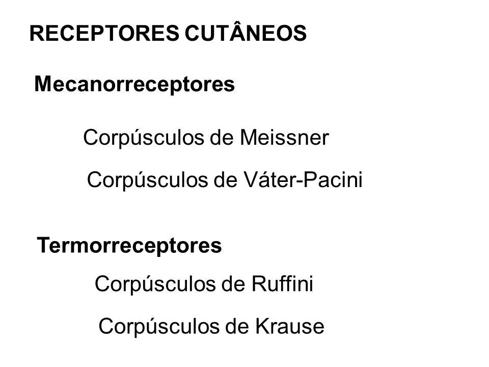 RECEPTORES CUTÂNEOS Mecanorreceptores Corpúsculos de Meissner Corpúsculos de Váter-Pacini Termorreceptores Corpúsculos de Ruffini Corpúsculos de Kraus