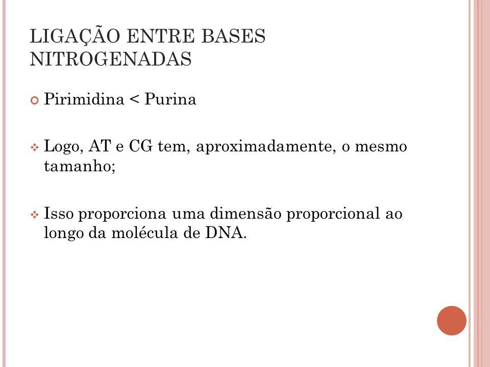 Pirimidina < Purina Logo, AT e CG tem, aproximadamente, o mesmo tamanho; Isso proporciona uma dimensão proporcional ao longo da molécula de DNA. LIGAÇ