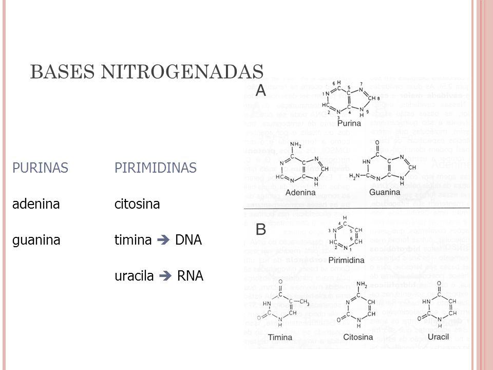 PURINASPIRIMIDINAS adeninacitosina guanina timina DNA uracila RNA BASES NITROGENADAS