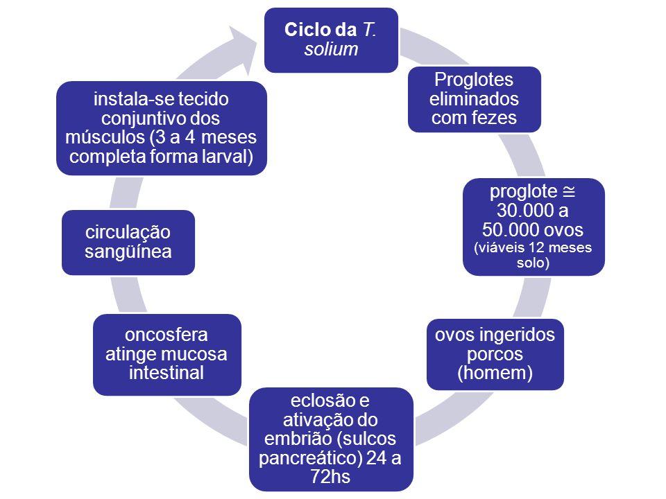 Ciclo da T. solium Proglotes eliminados com fezes proglote 30.000 a 50.000 ovos (viáveis 12 meses solo) ovos ingeridos porcos (homem) eclosão e ativaç