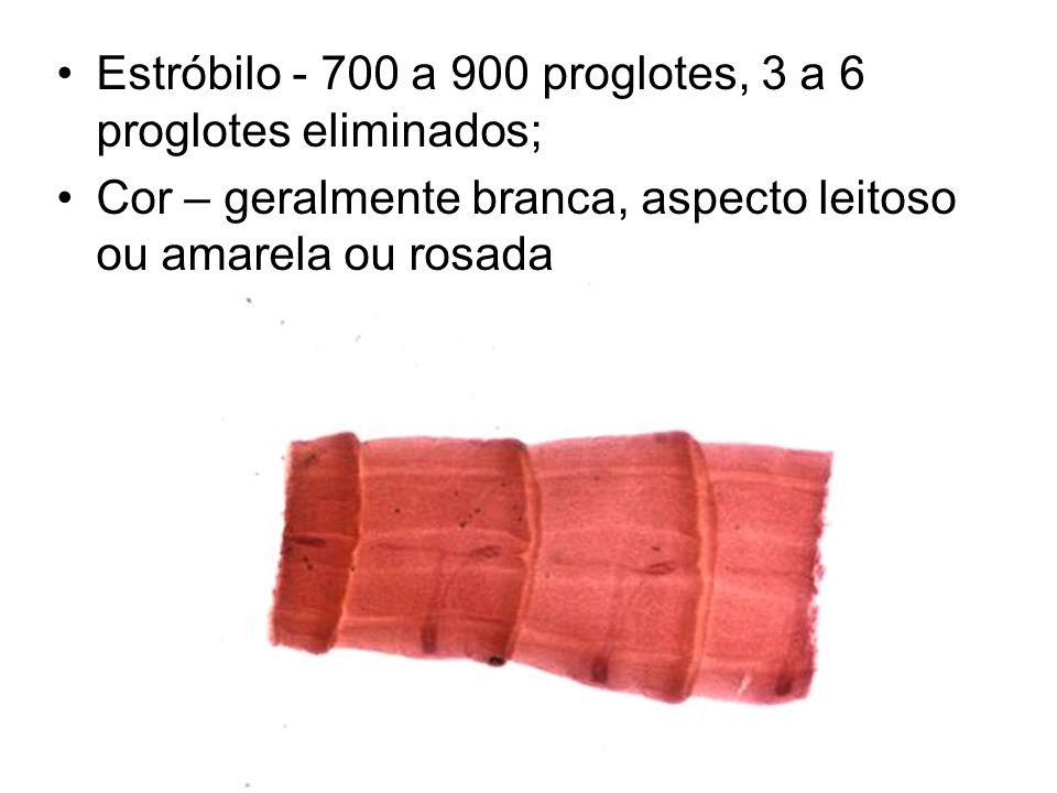 Estróbilo - 700 a 900 proglotes, 3 a 6 proglotes eliminados; Cor – geralmente branca, aspecto leitoso ou amarela ou rosada