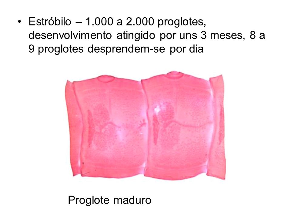 Estróbilo – 1.000 a 2.000 proglotes, desenvolvimento atingido por uns 3 meses, 8 a 9 proglotes desprendem-se por dia Proglote maduro