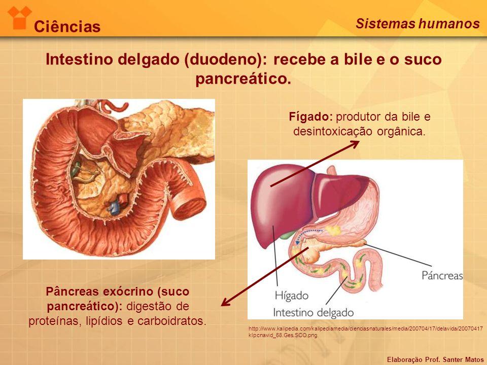 Intestino delgado (duodeno): recebe a bile e o suco pancreático. Fígado: produtor da bile e desintoxicação orgânica. Pâncreas exócrino (suco pancreáti