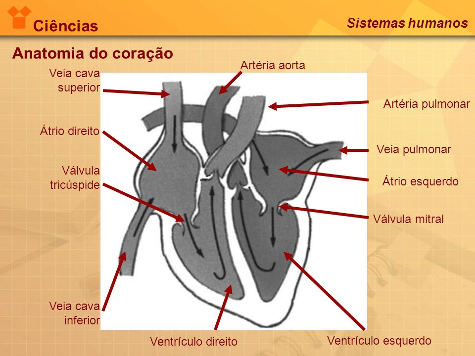 Anatomia do coração Átrio direito Válvula tricúspide Ventrículo direito Artéria pulmonar Veia pulmonar Átrio esquerdo Válvula mitral Ventrículo esquer