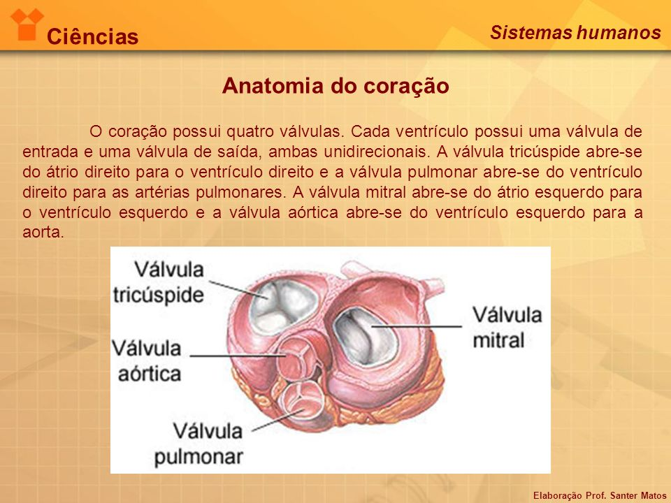 Anatomia do coração Ciências Sistemas humanos Elaboração Prof. Santer Matos O coração possui quatro válvulas. Cada ventrículo possui uma válvula de en