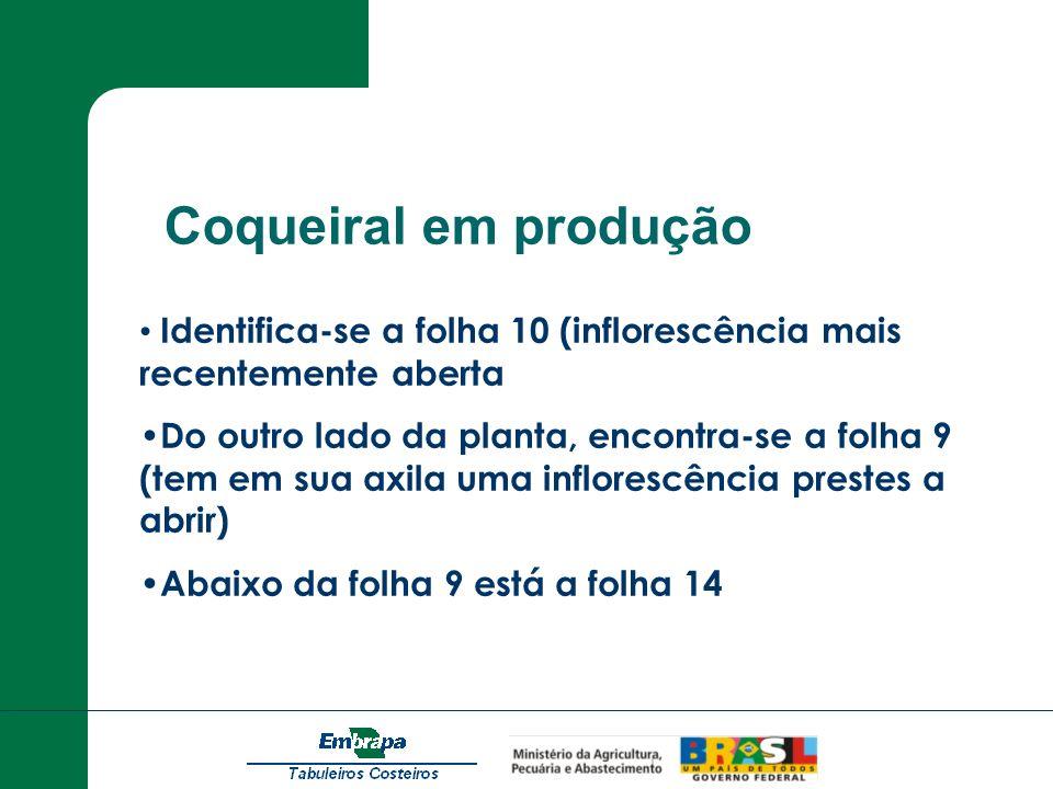 Coqueiral em produção Identifica-se a folha 10 (inflorescência mais recentemente aberta Do outro lado da planta, encontra-se a folha 9 (tem em sua axi