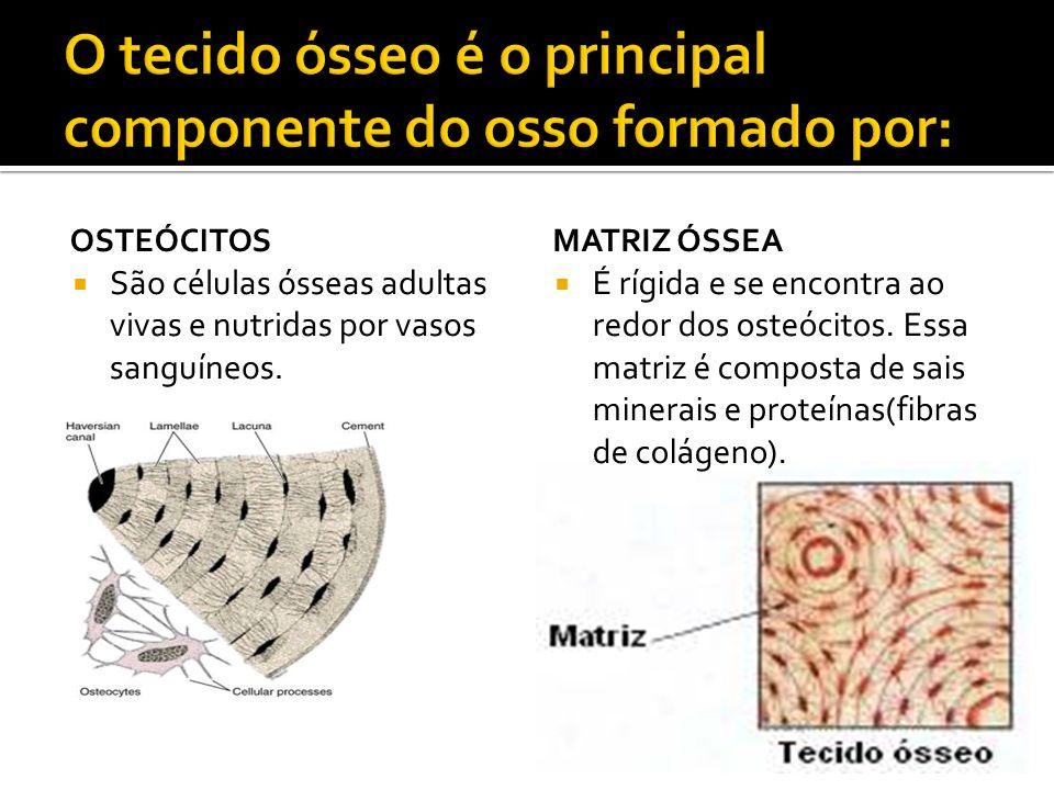 OSTEÓCITOS São células ósseas adultas vivas e nutridas por vasos sanguíneos. MATRIZ ÓSSEA É rígida e se encontra ao redor dos osteócitos. Essa matriz