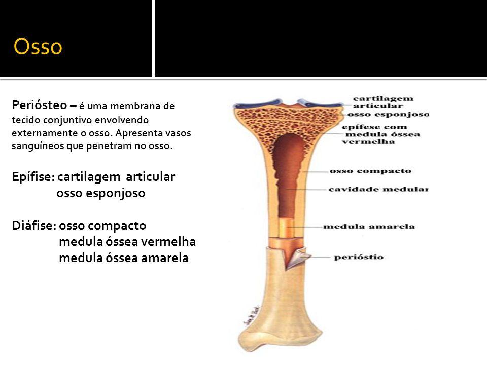 Osso Periósteo – é uma membrana de tecido conjuntivo envolvendo externamente o osso. Apresenta vasos sanguíneos que penetram no osso. Epífise: cartila