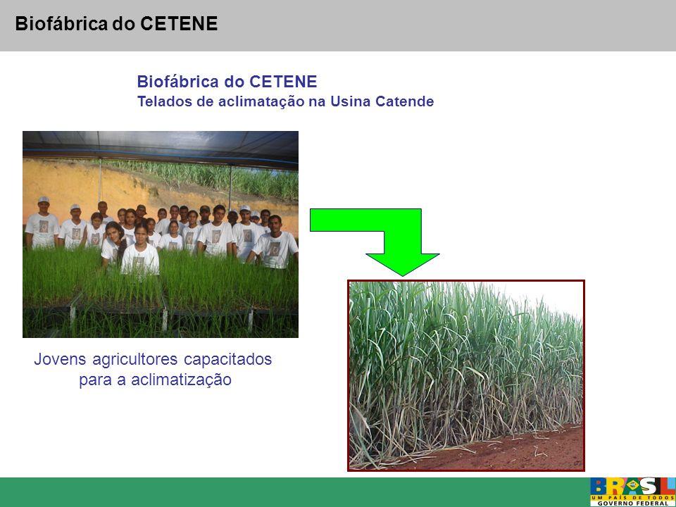 Biofábrica do CETENE Telados de aclimatação na Usina Catende Jovens agricultores capacitados para a aclimatização
