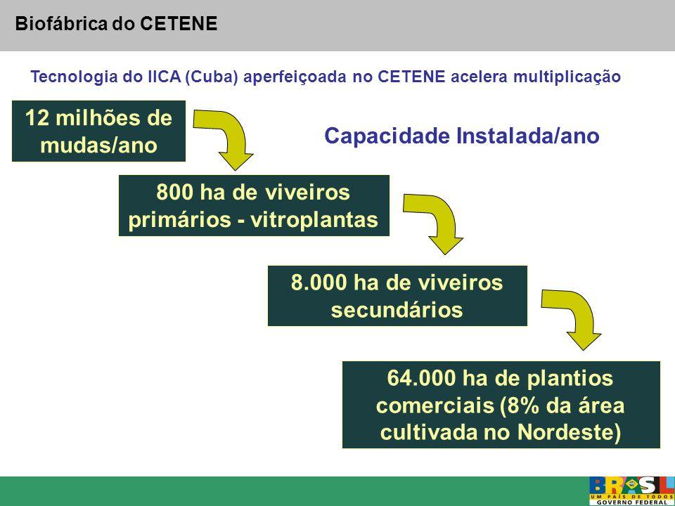 Biofábrica do CETENE 12 milhões de mudas/ano 800 ha de viveiros primários - vitroplantas 8.000 ha de viveiros secundários 64.000 ha de plantios comerc