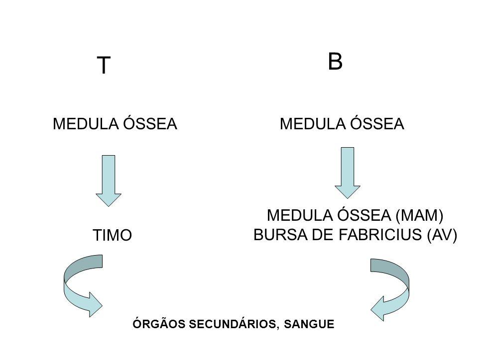 MEDULA ÓSSEA T TIMO ÓRGÃOS SECUNDÁRIOS, SANGUE B MEDULA ÓSSEA (MAM) BURSA DE FABRICIUS (AV)