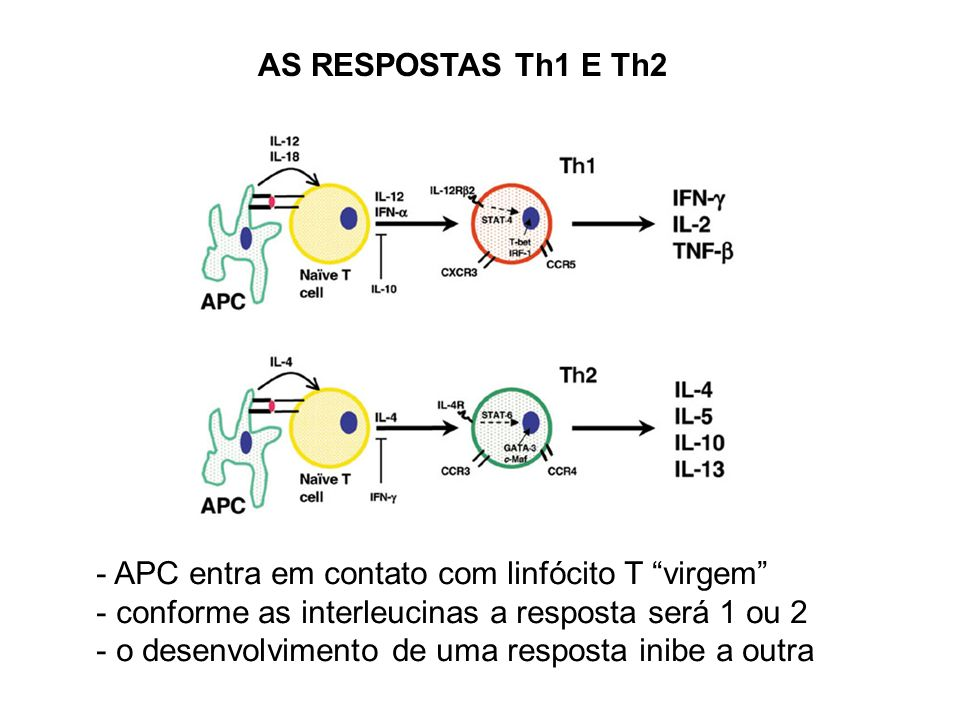 AS RESPOSTAS Th1 E Th2 - APC entra em contato com linfócito T virgem - conforme as interleucinas a resposta será 1 ou 2 - o desenvolvimento de uma resposta inibe a outra