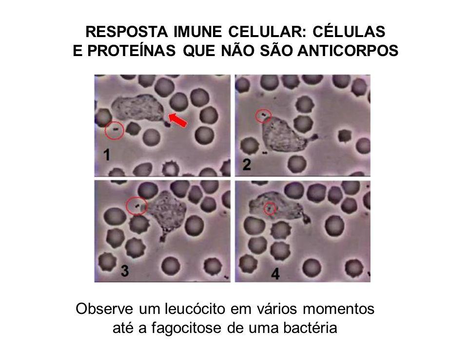 RESPOSTA IMUNE CELULAR: CÉLULAS E PROTEÍNAS QUE NÃO SÃO ANTICORPOS Observe um leucócito em vários momentos até a fagocitose de uma bactéria