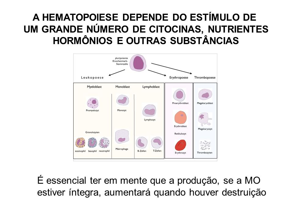 AS CÉLULAS DE DEFESA: LEUCÓCITOS neutrófilo monócito basófilo linfócito eosinófilo Quanto à presença de grânulos no citoplasma: granulócitos ou agranulócitos Quanto à forma do núcleo: mononucleares ou polimorfonucleares