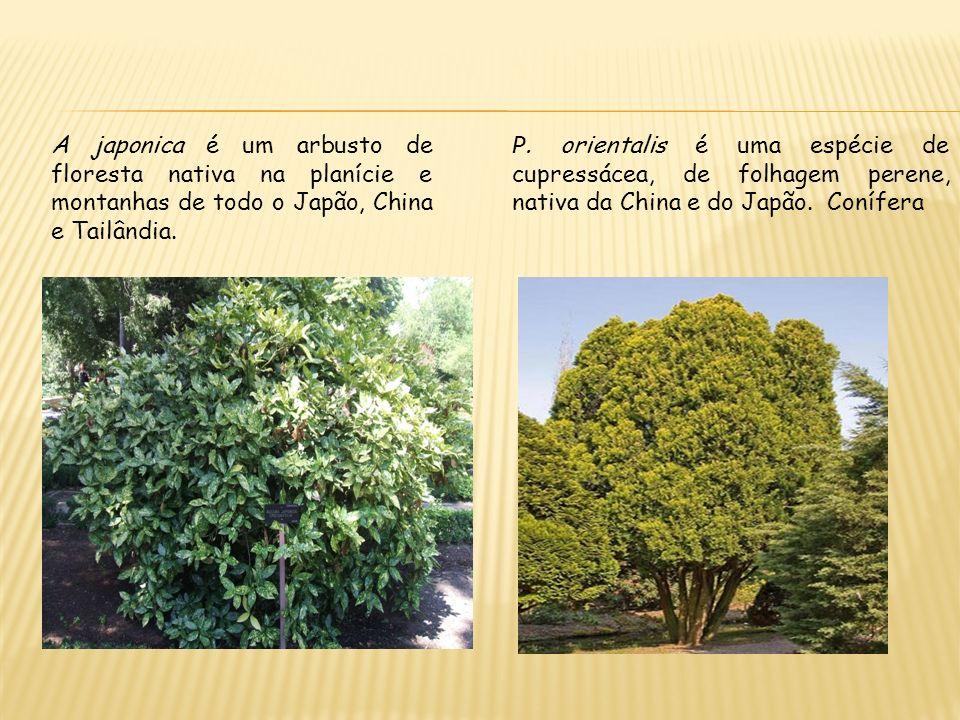 A japonica é um arbusto de floresta nativa na planície e montanhas de todo o Japão, China e Tailândia. P. orientalis é uma espécie de cupressácea, de