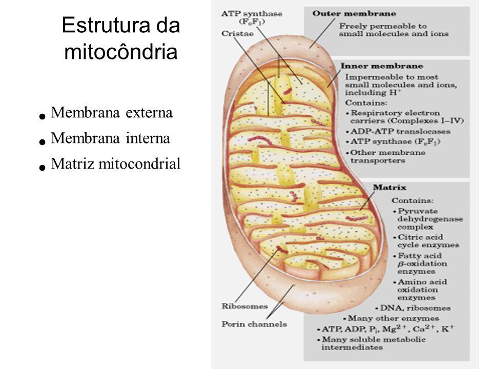 Estrutura da mitocôndria Membrana externa Membrana interna Matriz mitocondrial